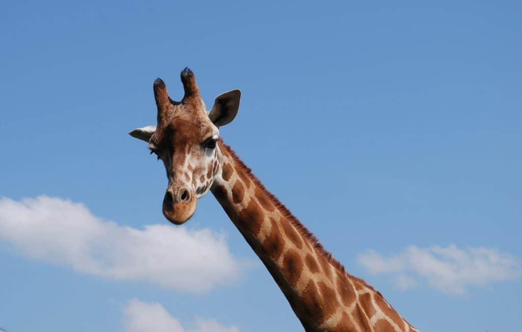 Giraffe - Flamingo Land