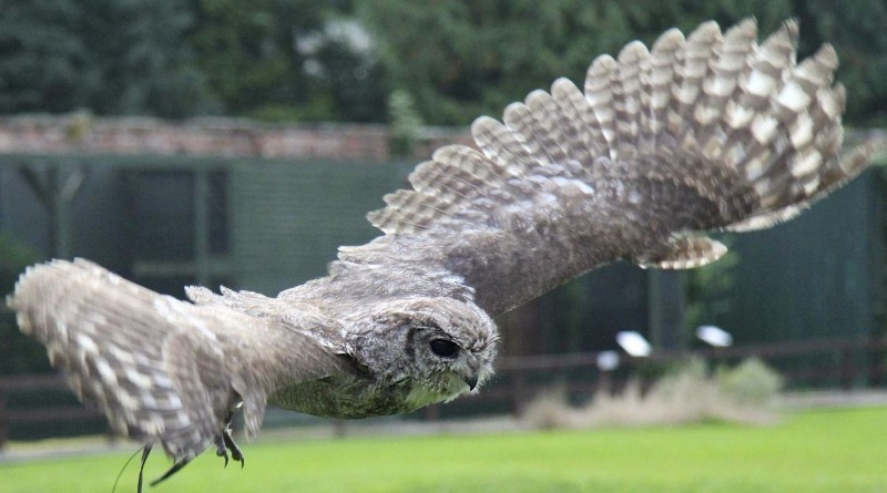 Flying-Display-Thorp-Perrow-Arboretum-Wildlife-Park