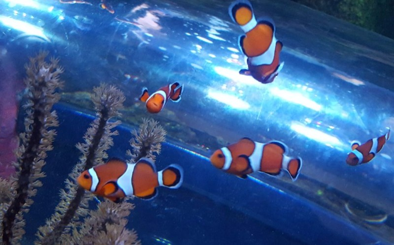 National-SEA-LIFE-Centre-Birmingham-Clownfish-Kingdom