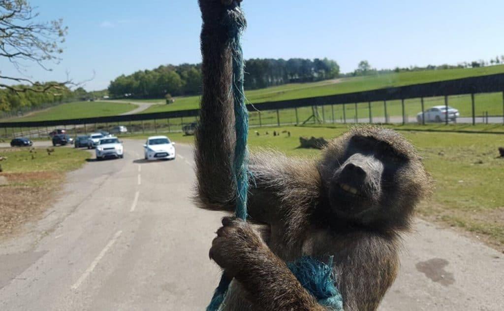 Baboon - Knowsley Safari Park