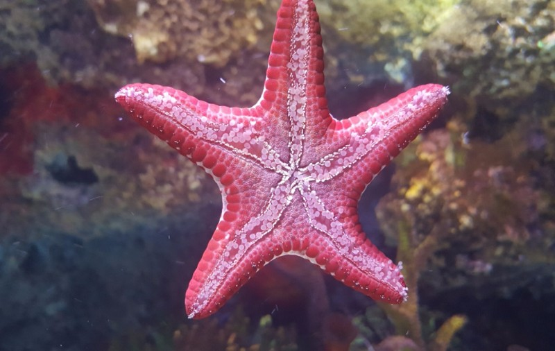 SEALIFE-Manchester-Starfish