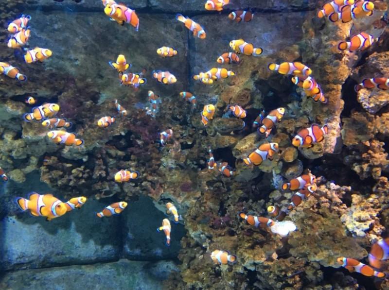 SEA-LIFE-Weymouth-Clownfish