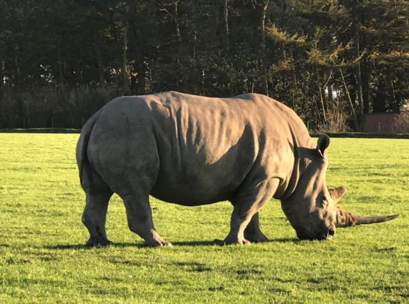 Knowsley Safari Park - Rhino