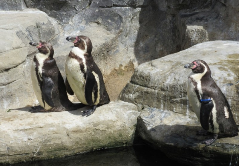 Cornish-Seal-Sanctuary-Penguins