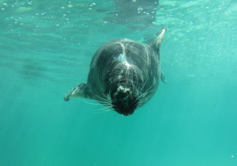 Cornish-Seal-Sanctuary-Sea-Lion