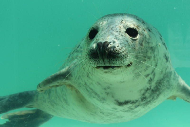 Cornish-Seal-Sanctuary-Seal
