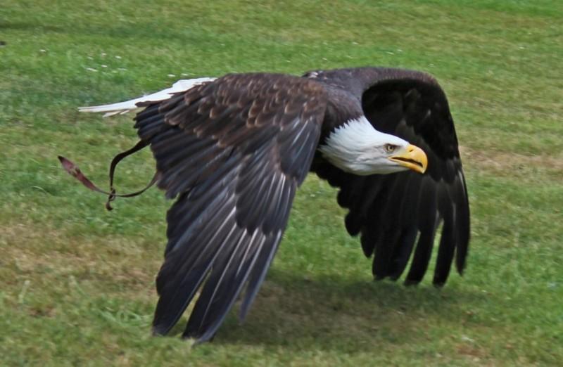 Warwick-Castle-Birds-of-Prey