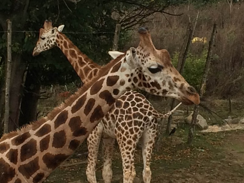 Chessington-World-of-Adventures-Resort-Giraffes