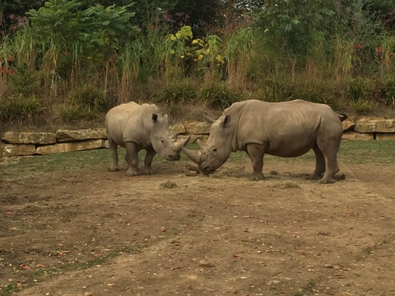 Chessington-World-of-Adventures-Resort-Rhinos