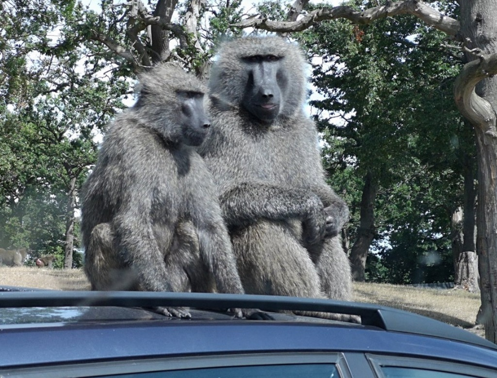 Knowsley Safari Park - Monkeys